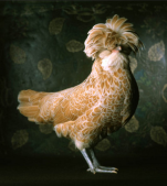 fowl1.png